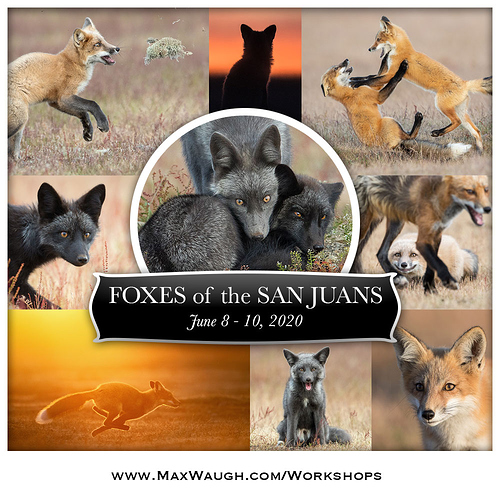foxes2020-1000px
