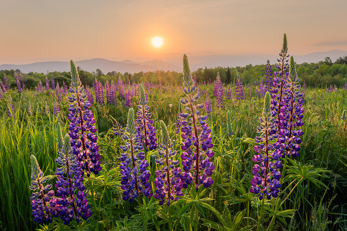 Lupines%20(1%20of%202)