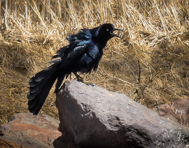 Calling%20all%20Grackles%20(1%20of%201)