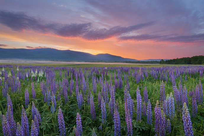 Lupines%20(2%20of%202)